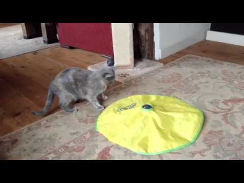 Feline crazy! Funny cat plays with Cat's Meow toy