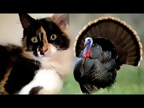 Cute Funny KittenTurkey Fishing – Liliya Kitty