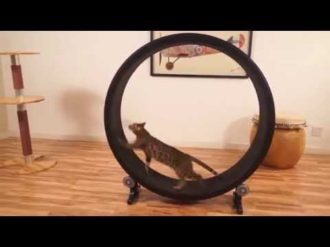 Funny Cat – Cat Exercise Wheel