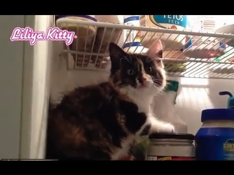 Cute Funny Cat Gets Into Fridge – Very Funny Video 2013