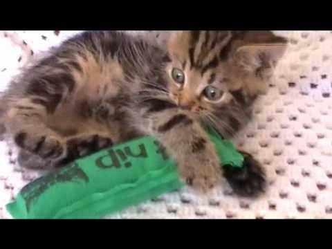 Funny cat vidio-Cute Kitten catnip capers