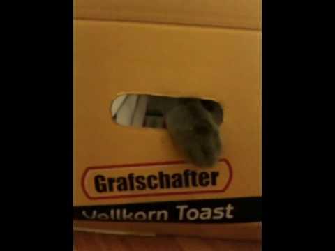 Funny Korat cat