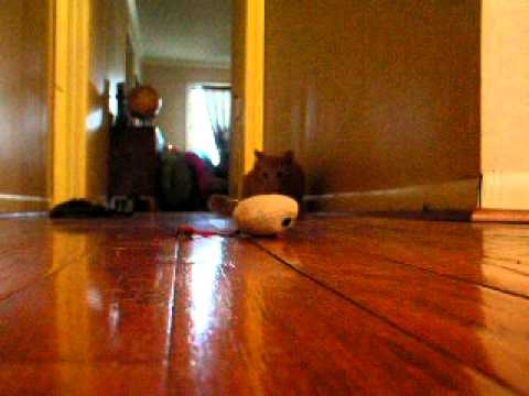 funny cat playing with mouse toy