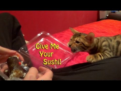 Funny Bengal Cat- Tries to steal food