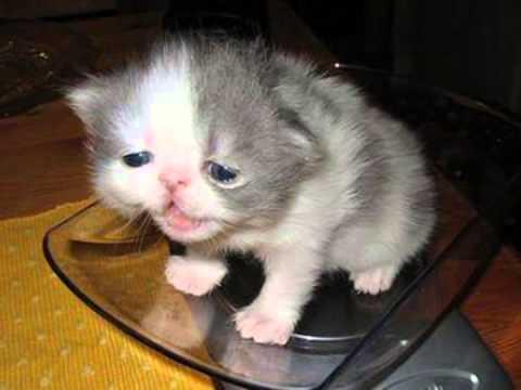 The Kitty Cat Dance (funny cat video) lol lolcat